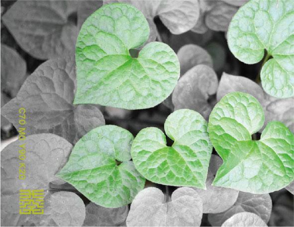 二葉葵の緑